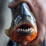 Amazonian piranha