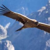 The soaring Andean condor